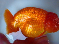 Quality ranchu available