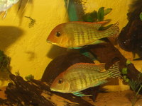 For Sale-1-1.5 inch(2-4cm) GEOPHAGUS SP.RED HEAD TAPAJOS- 2 for £10 or 5 for £20(Only 40 left) more growing--- Leeds