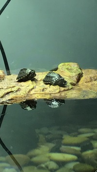 2 baby musk turtles and full tank set up £190
