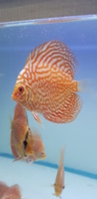 Asian discus from £20