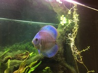 Female Discus Fish 4 inches