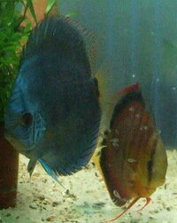 Home bred Discus in Tyne and Wear