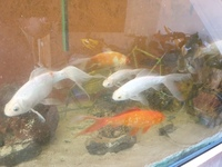 Job lot of 20X 6 - 12 inches Mirror Carp and long fin goldfish £60