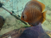 Discus Fish x3, about 4 inches in size