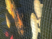 Mature Koi for sale