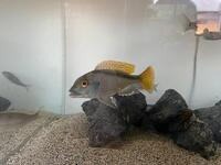 Malawi and Tanganyikan cichlids, North London