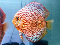 LEOPARD discus fish - UK breed - top quality, directly from breeder (North Wales)