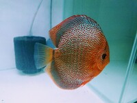 Eruption Discus fish - UK breed - top quality - directly from breeder (North Wales)