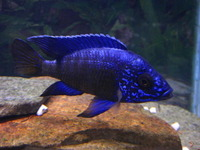 Wet Pets Solihull have yet again another fantastic offer of 20 Malawi Haps and Aulonacaras for sale.