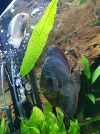Adult discus and 6 month old lemon discus