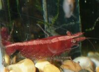 Corydoras duplicarious & delphax, and red cherry shrimps.