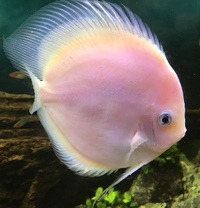 SOLD Discus for sale £60 each