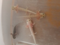 Axolotl juveniles for sale