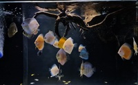 18 mixed strain discus