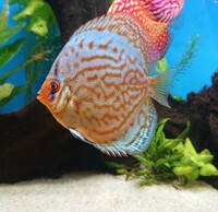 5 Stendker Discus for Tropical Fish Tank Aquarium - can be sold individually or as group.