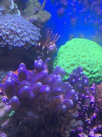 Toxic green candy canes and other corals
