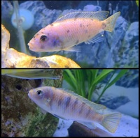 metriaclima ob zebra x2(still for sale)