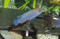 Reduced Adult malawi cichlid afra cobue stunning pair £15