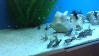 SYNODONTIS EUPTERUS 10 pounds each