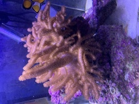 Xl finger coral