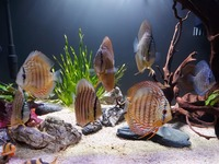 9 beautiful wild strain discus from Punchard Discus