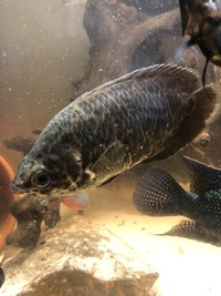 Cichlids for sale NEED GONE