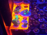 Zoas and sps frags