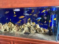 Various Malawi cichlids for sale