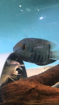 "1x 6"" Rio Negro Severum for sale- £40 ono"
