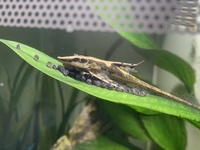 Sturisomatichthys Reinae Royal whiptail catfish