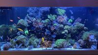 Marine corals for sale, LPS corals