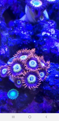 Coral frags for sale nice large pieces