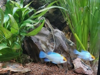 Pair of electric blue rams
